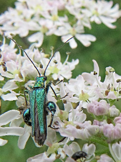 Swollen-thighed beetle, Barbara Copperthwaite, Go Be Wild