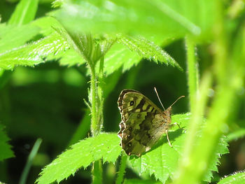 Speckled Wood, Go Be Wild, Barbara Copperthwaite
