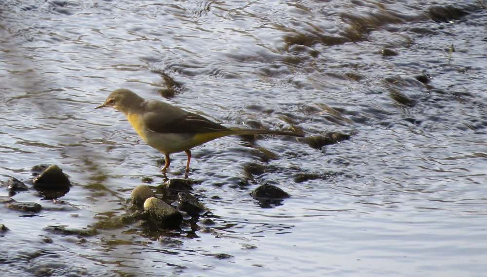 Grey Wagtail, by Barbara Copperthwaite, Go Be Wild