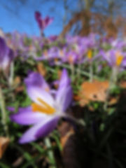 Spring crocuses at Highbury Park, Barbara Copperthwaite, Go Be Wild