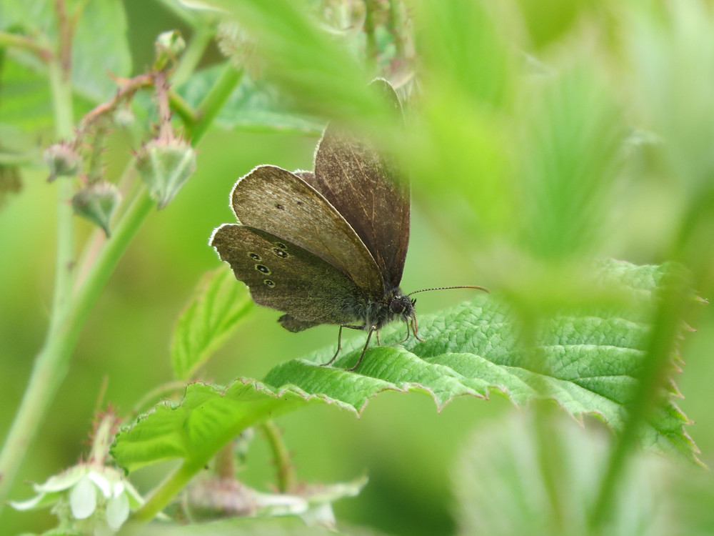 Ringlet, Barbara Copperthwaite, Go Be Wild