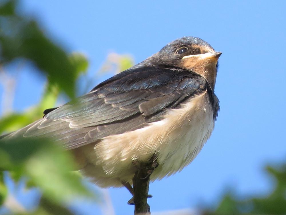 Juvenile Swallow, Barbara Copperthwaite, Go Be Wild