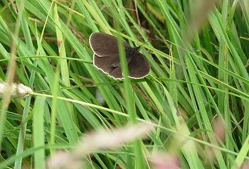 Ringlet butterfly, Go Be Wild, Barbara Copperthwaite