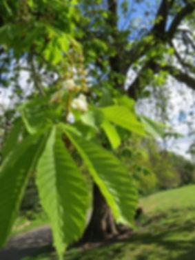 Horse chestnut leaf, by Barbara Copperthwaite, Go Be Wild