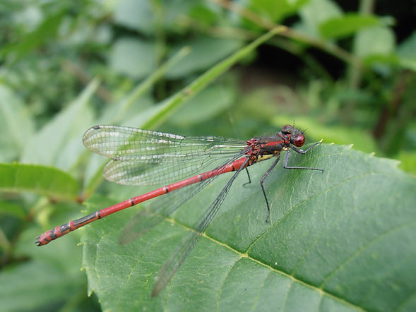 Large Red Damselfly, Go Be Wild! Barbara Copperthwaite