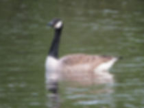 Canada Goose in Highbury Park, King's Heath