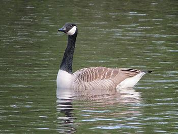 Canada Goose in Highbury Park, King's Heath