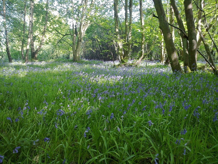 Bluebell Woods at Marks Hall, by Barbara Copperthwaite, Go Be Wild