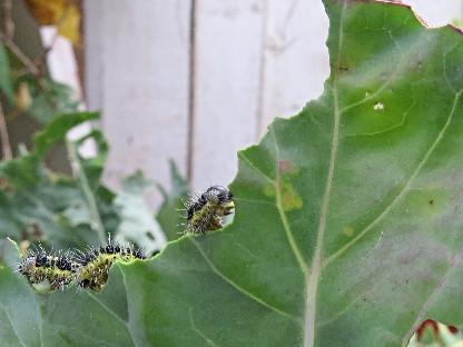 3rd moult Large White caterpillar, Barbara Copperthwaite, Go Be Wild
