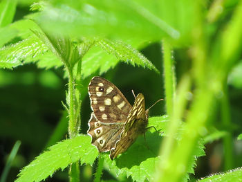 Speckled Wood butetrfly, Go Be Wild, Barbara Copperthwaite