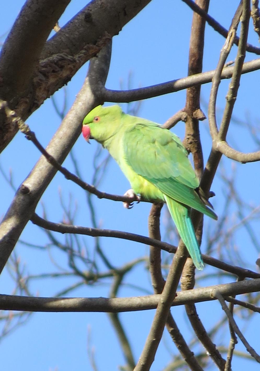 Female parakeet hatched last year, Barbara Copperthwaite, Go Be Wild