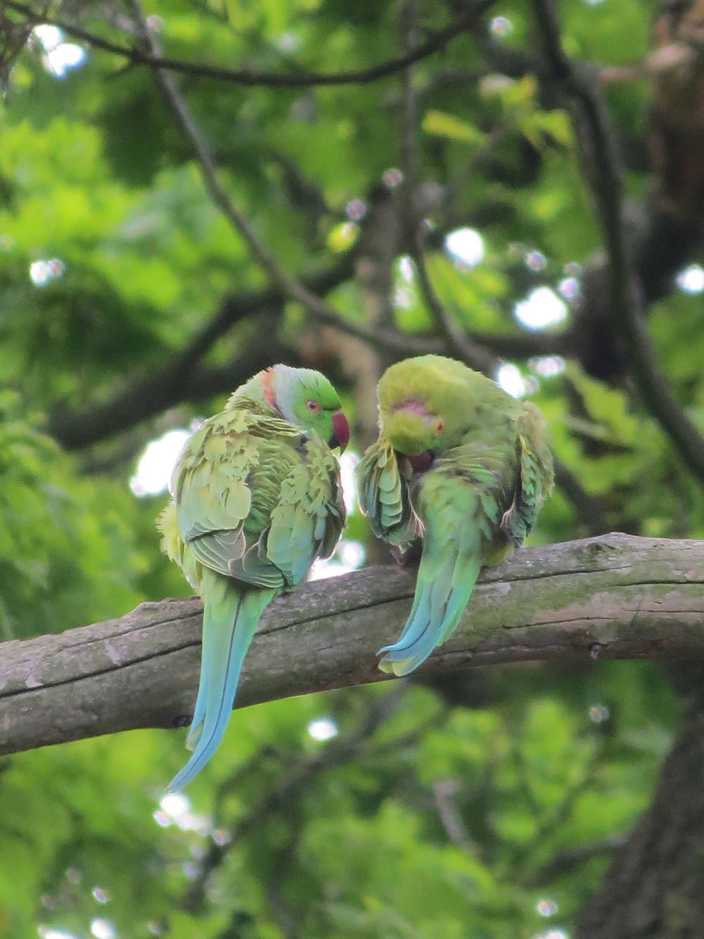 Fledgling Ring-Necked Parakeets, Barbara Copperthwaite, Go Be Wild