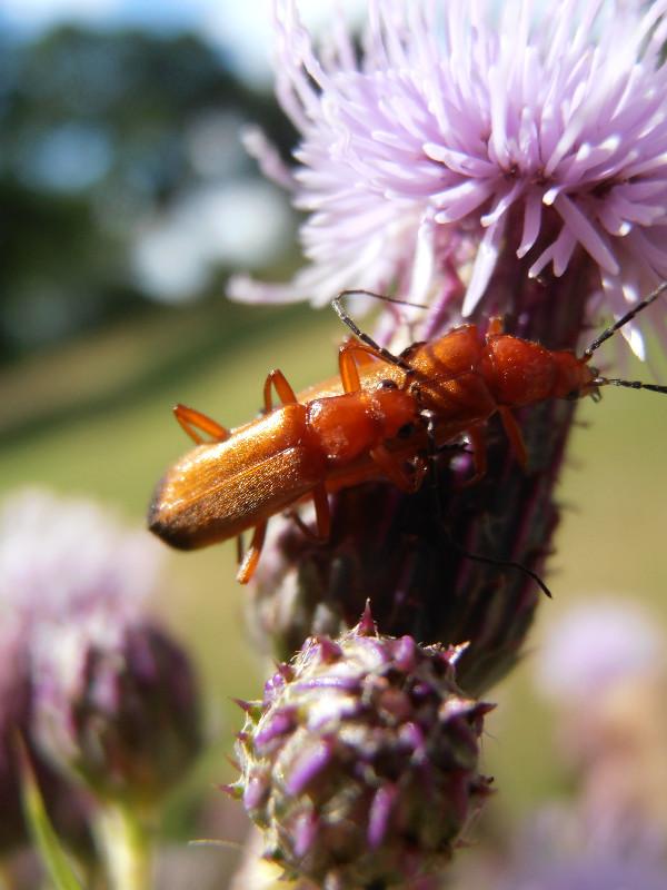 soldier beetles etc 015_edited.JPG
