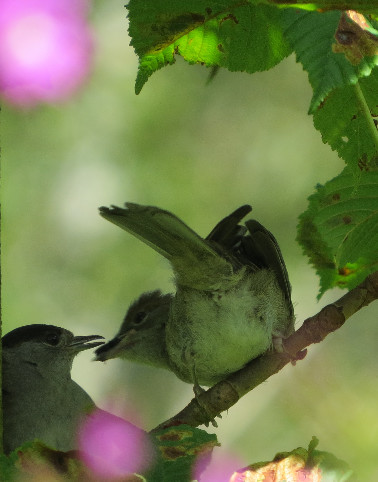 Close up of feeding Blackcaps, Barbara Copperthwaite, Go Be Wild