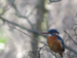 Kingfisher, by Barbara Copperthwaite, Go Be Wild!
