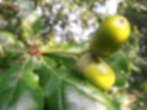 English Oak acorns, Barbara Copperthwaite, Go Be Wild