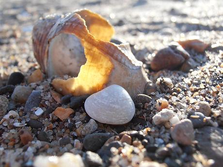 Common Whelk, a gastropod, Go Be Wild, Barbara Copperthwaite