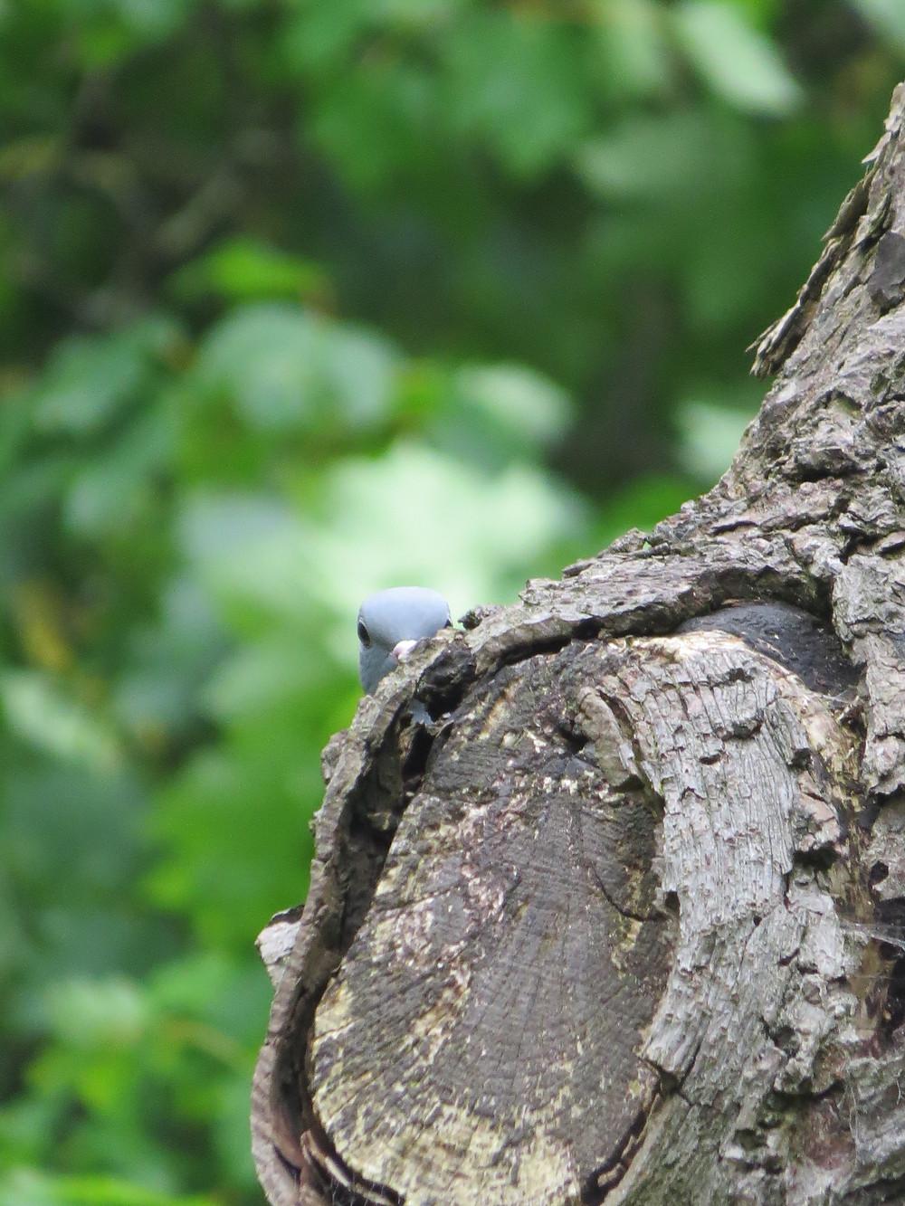 Wood pigeon plays peekaboo, Barbara Copperthwaite, Go Be Wild