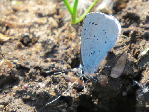 Holly Blue feeding on wet soil. Photo: Go Be Wild, Barbara Copperthwaite