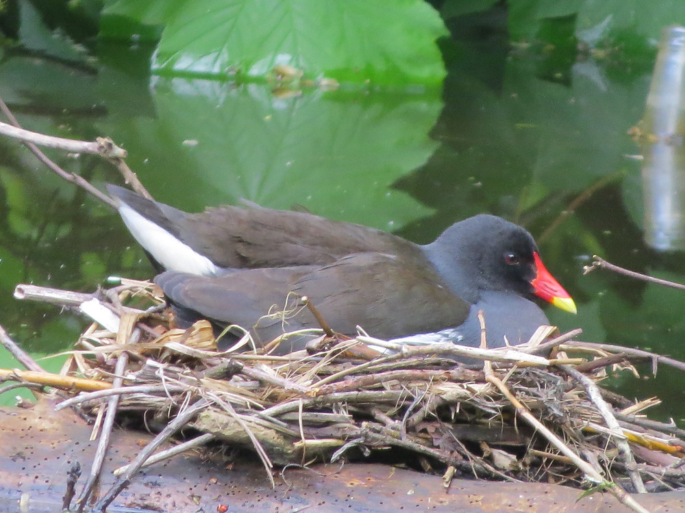 Nesting Moorhen, Barbara Copperthwaite, Go Be Wild