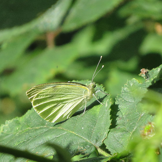 Large White butterfly, Barbara Copperthwaite, Go Be Wild