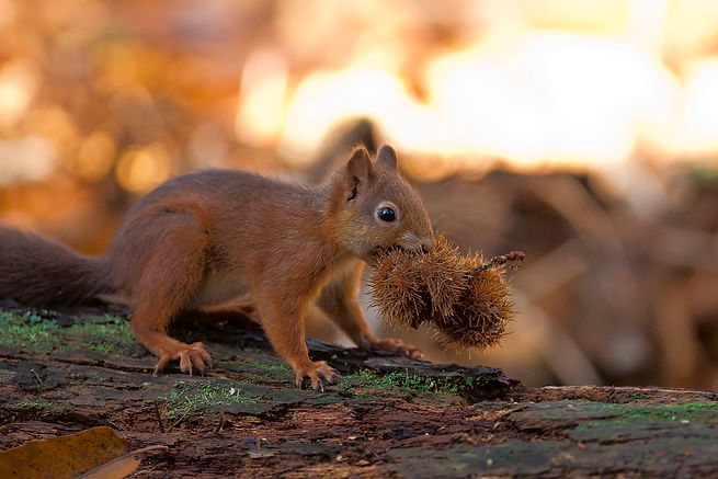 Red Squirrel on Brownsea, by Stewart Canham, Go Be Wild