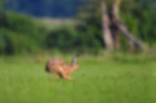 Running hare, Go Be Wild