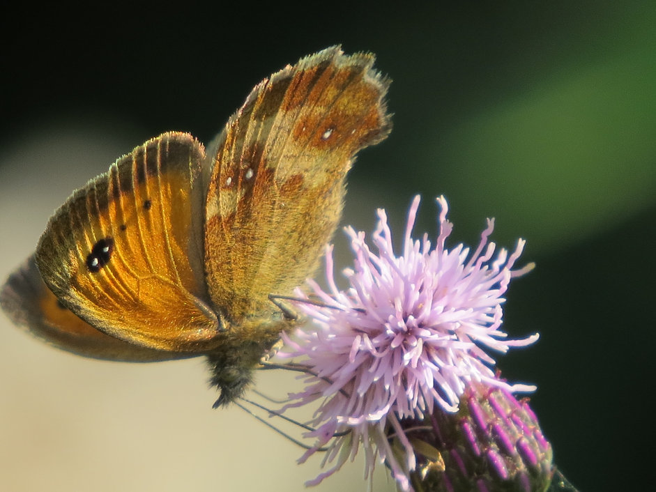 Gatekeeper butterfly, Go Be Wild, Barbara Copperthwaite