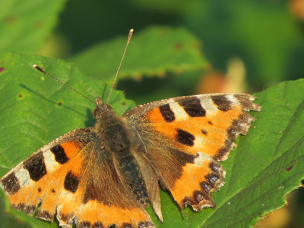 Small tortoiseshell butterfly, by Barbara Copperthwaite, Go Be Wild