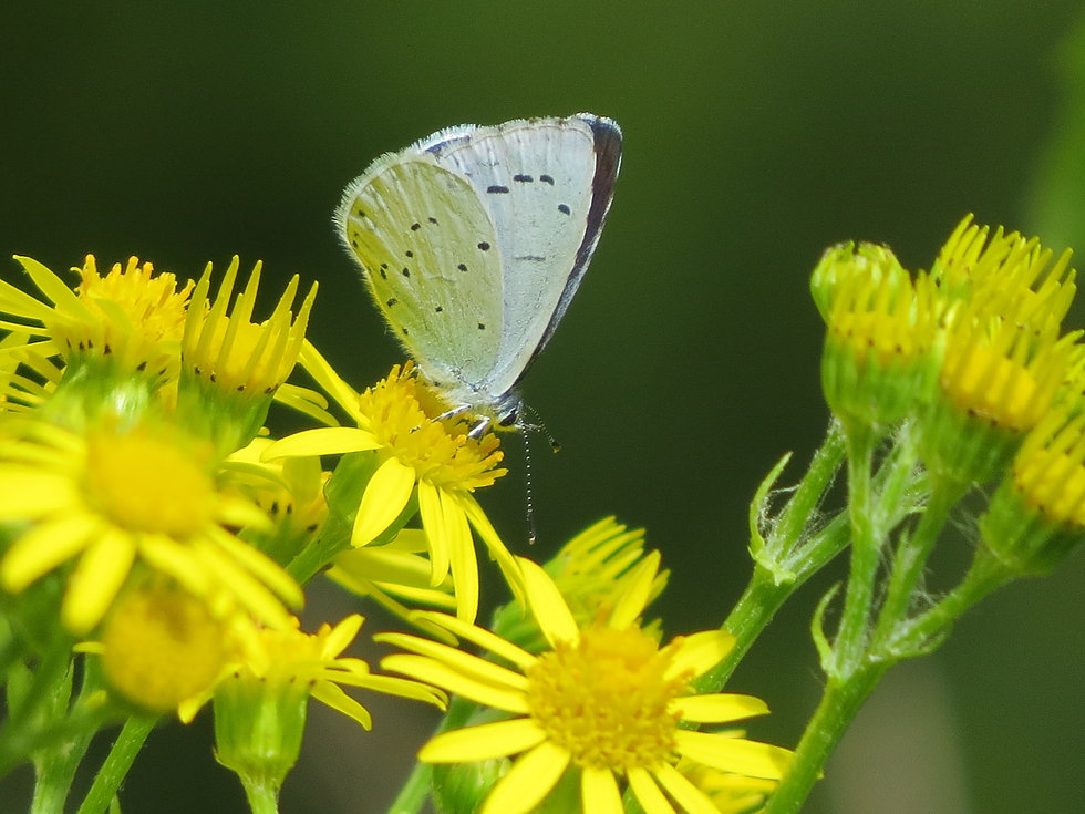 Holly Blue butterfly, Go Be Wild, Barbara Copperthwaite
