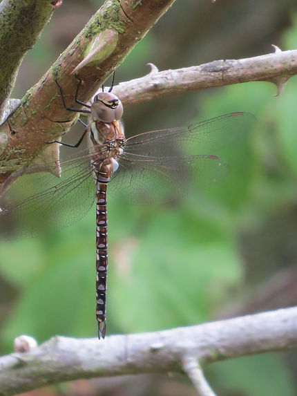 Common Hawker dragonfly, Barbara Copperthwaite, Go Be Wild