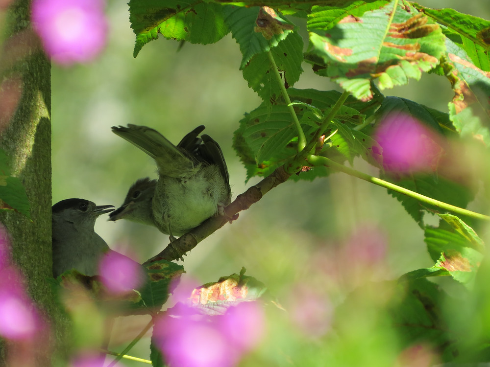 Blackcap feeding juvenile, Barbara Copperthwaite, Go Be Wild