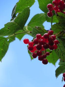 Berries, Go Be Wild, Barbara Copperthwaite