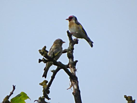 Male & female Goldfinch, Barbara Copperthwaite, Go Be Wild