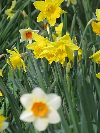 Daffodils, Barbara Copperthwaite, Go Be Wild