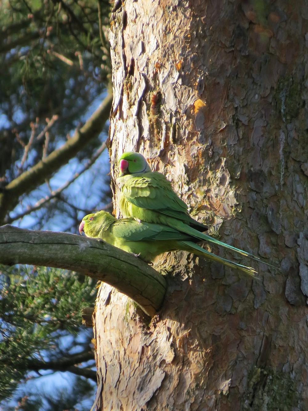 Parakeet breeding in Highbury Park, Birmingham. Photo: Barbara Copperthwaite, Go Be Wild