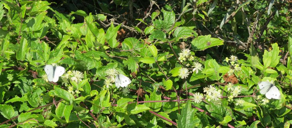 Small White butterflies, Barbara Copperthwaite, Go Be Wild