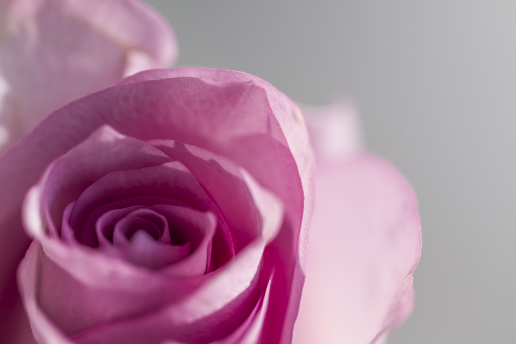 purple rose.jpg