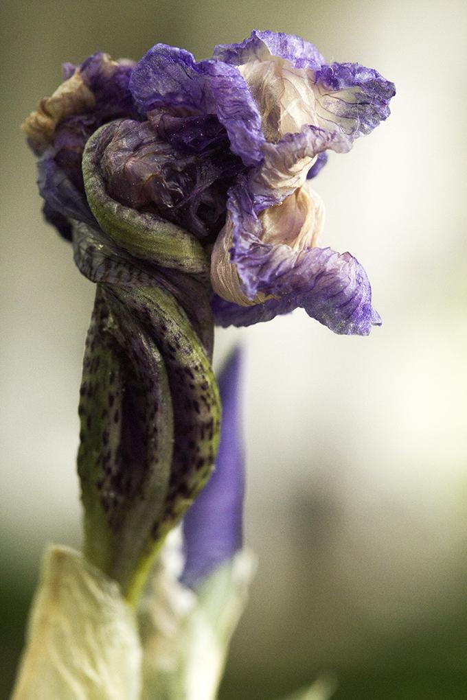 old iris web