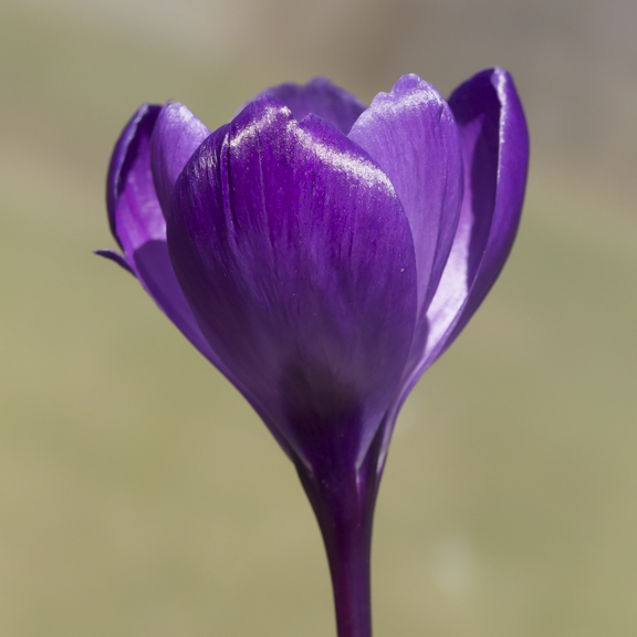 crocus group-6