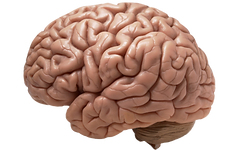 Download-Brain-PNG-Image.png