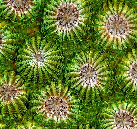 Symbiodinium the secret to healthy corals