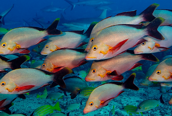 Freaked out fish - Snapper Alarm Pheromones