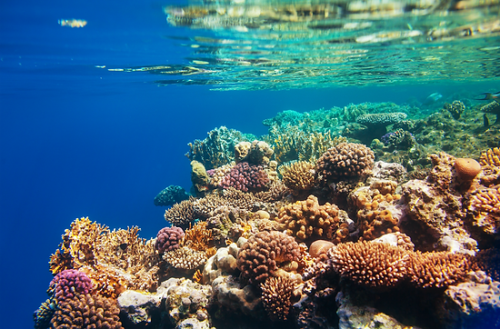 Coral Larvae Ecology and Reef Restoration