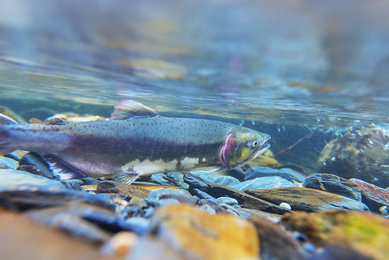 Impacts of Farmed Salmon on Wild Populations