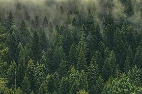 A-sea-of-Evergreens-scaled.jpg