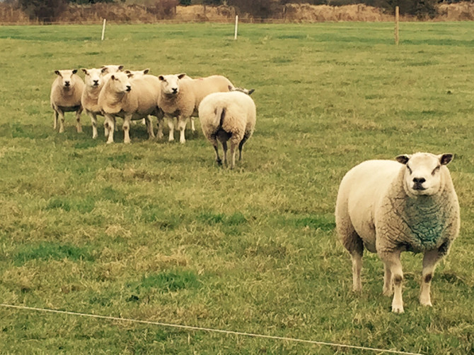 Lambing live...coming soon