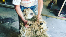 Shearing of our Greyface Dartmoors today!