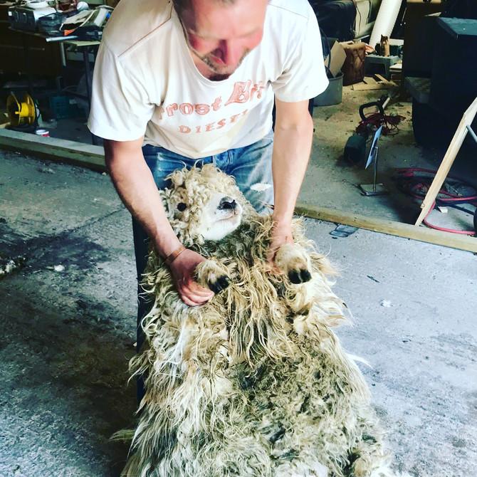 Shearing ofour Greyface Dartmoors today!