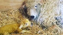 Lambing has begun!